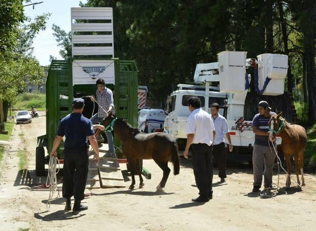 <p>Rescates. La Municipalidad y Mapac trabajan en conjunto en el rescate de caballos de la v&iacute;a p&uacute;blica.</p>