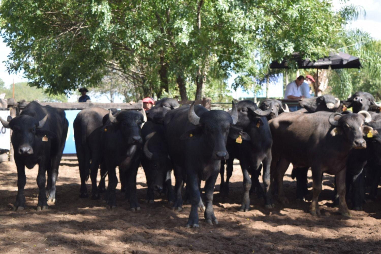<p>Búfalos. La Rural de Corrientes recibe nuevamente a la Expo Búfalos de la Abuar.</p>