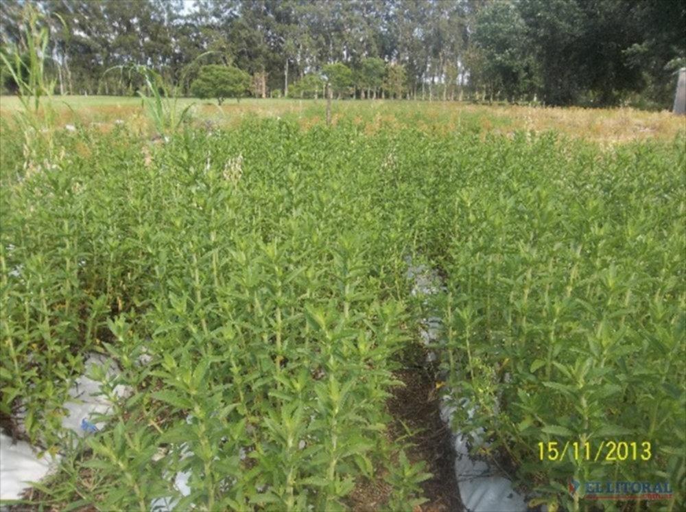 Declaran de interés nacional el cultivo de stevia