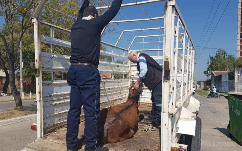<p>Retiros. Diariamente la Municipalidad debe retirar a los caballos que deambulan por la vía pública.</p>