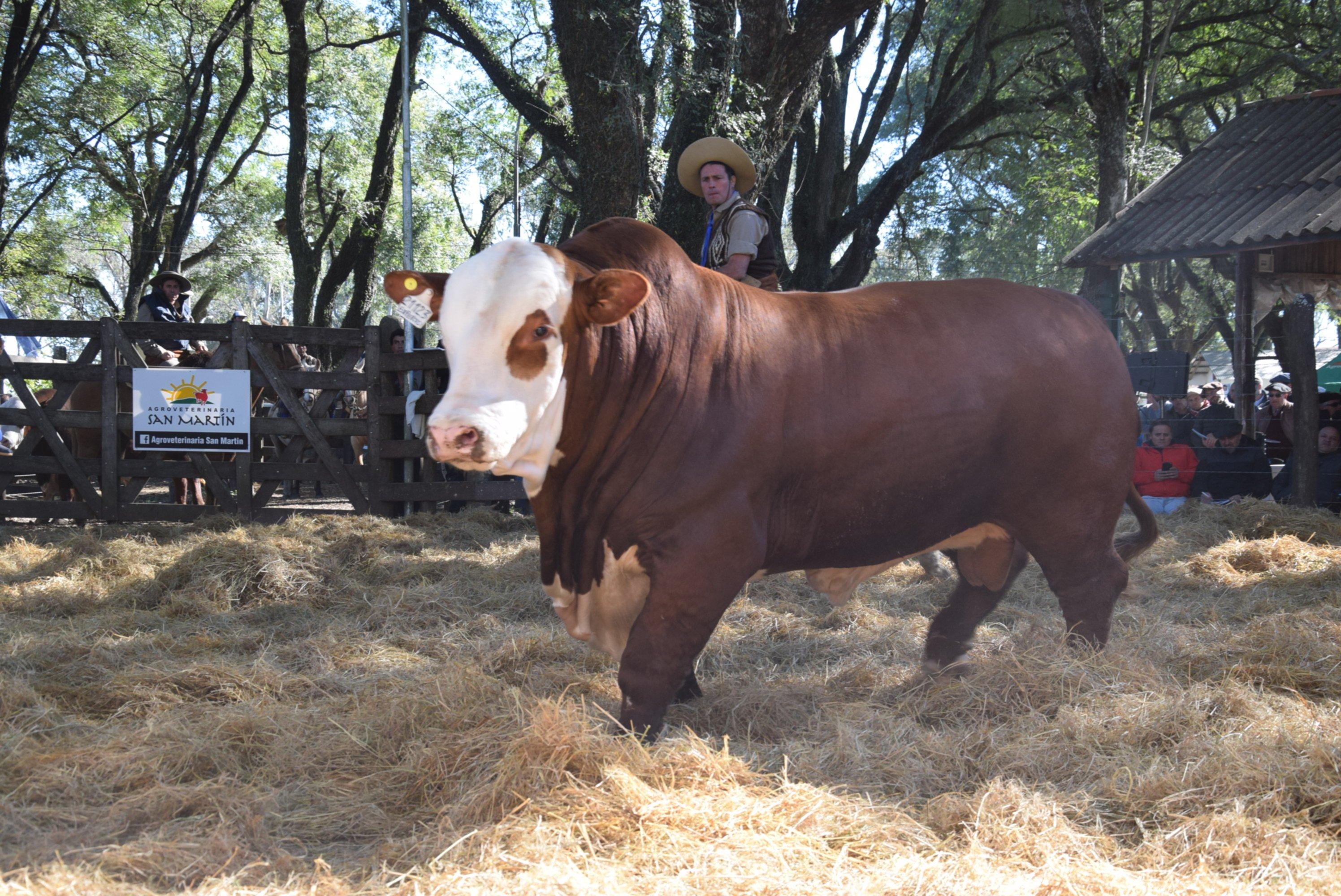 """<p>Cabeza. El primer toro del remate, hijo de """"Experto"""", que se vendió en $710 mil y se fue a Córdoba.</p>"""