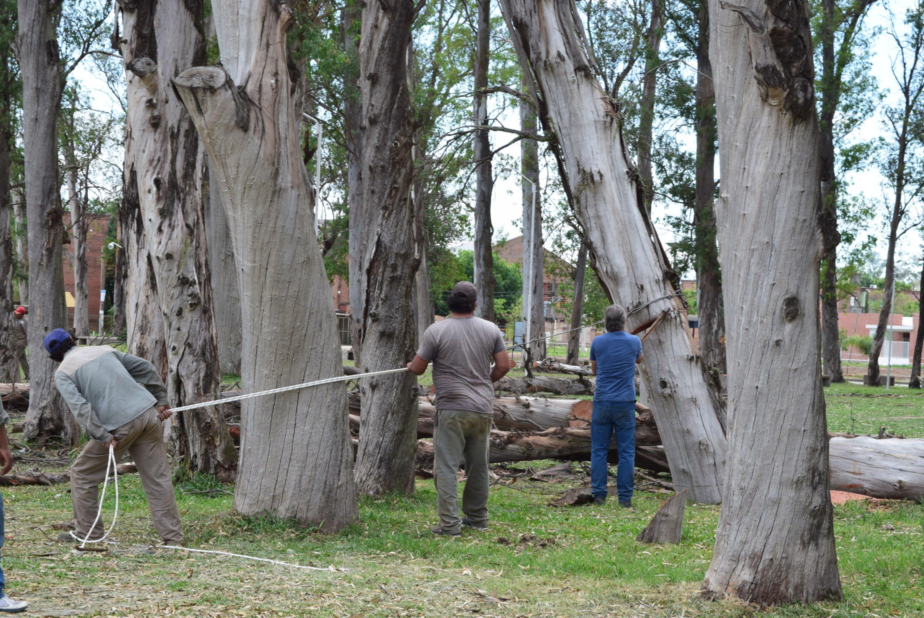 <p>Corte. Personal municipal retiró cuatro árboles y la situación alertó a los vecinos del San Gerónimo y de otras zonas.</p>