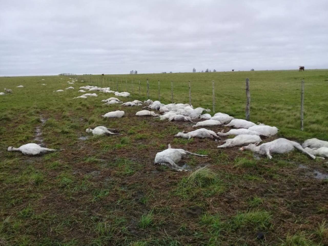 <p>Alcance. Las 3.500 ovejas muertas representan entre el 60 y 70 por ciento del stock de los tres productores damnificados.</p>